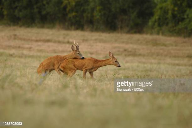 side view of roe deer standing on grassy field,slovakia - female animal stock pictures, royalty-free photos & images