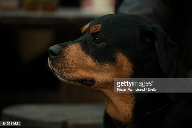 Side View Of Rottweiler