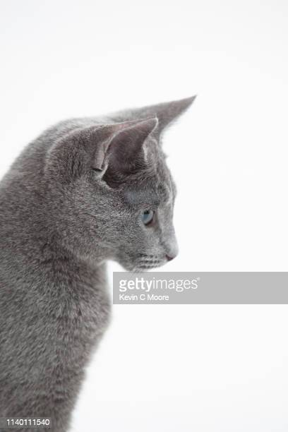 side view of russian blue cat - russian blue cat stock pictures, royalty-free photos & images