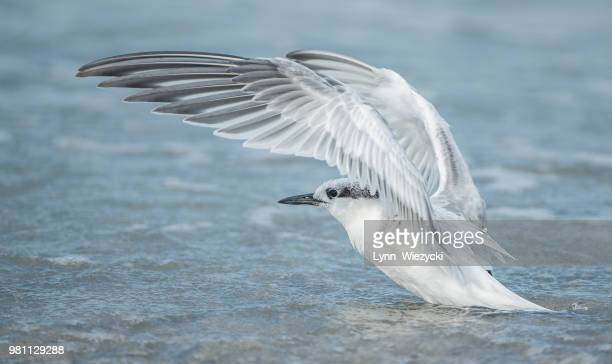 side view of sandwich tern (thalasseus sandvicensis) spreading wings, indian shores, florida, usa - clearwater florida stock pictures, royalty-free photos & images