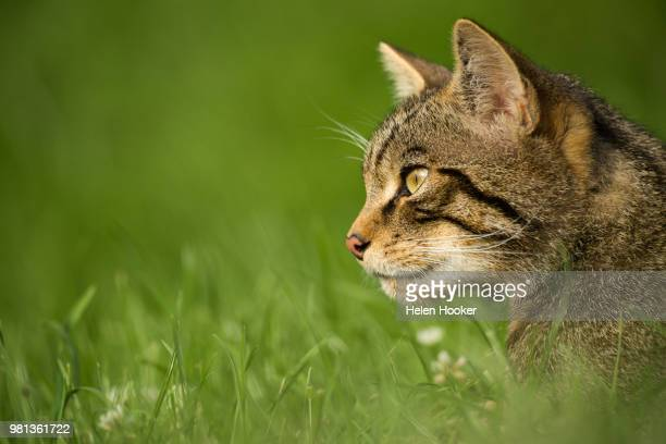 Side view of Scottish wildcat in grass, British Wildlife Centre, Surrey, England, UK