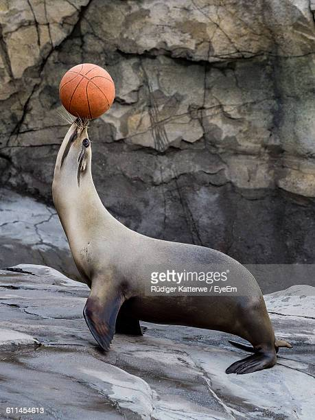 Side View Of Sea Lion Balancing Basketball At Zoo