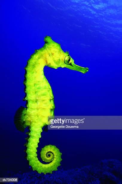 side view of seahorse - hippocampe photos et images de collection