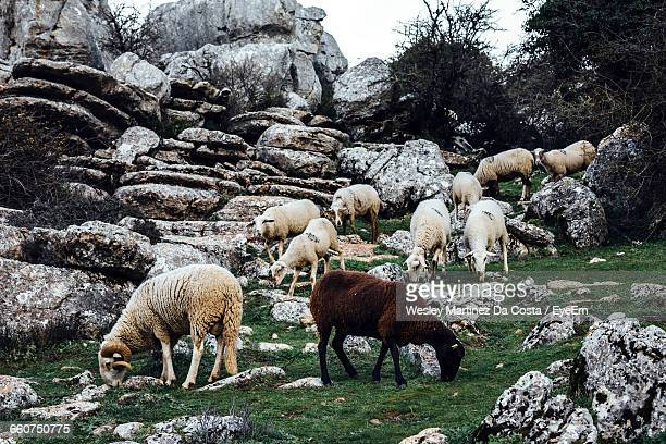 Side View Of Sheep Grazing On Grassy Near Rocks