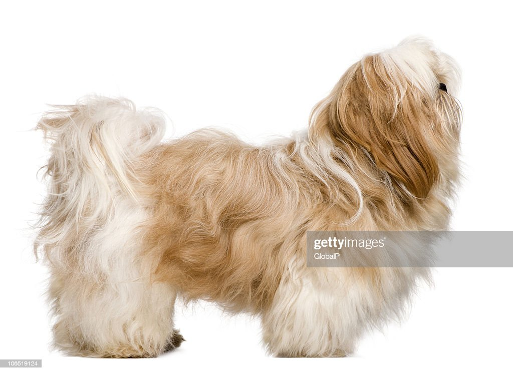 Side View Of Shih Tzu 1 Year Old Standing Stock Photo Getty Images