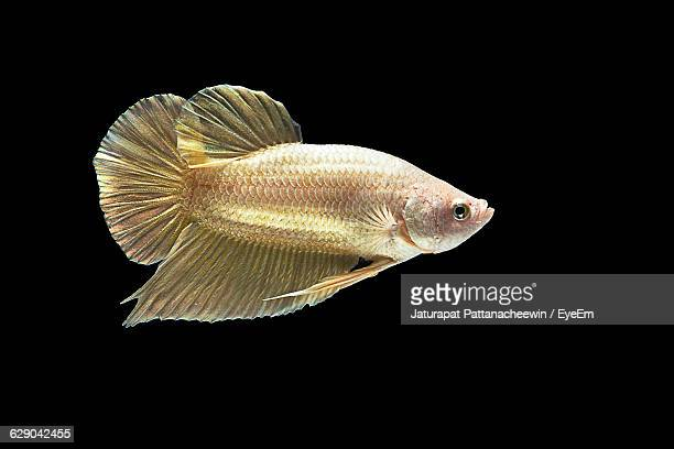 side view of siamese fighting fish against black background - fish scale pattern ストックフォトと画像