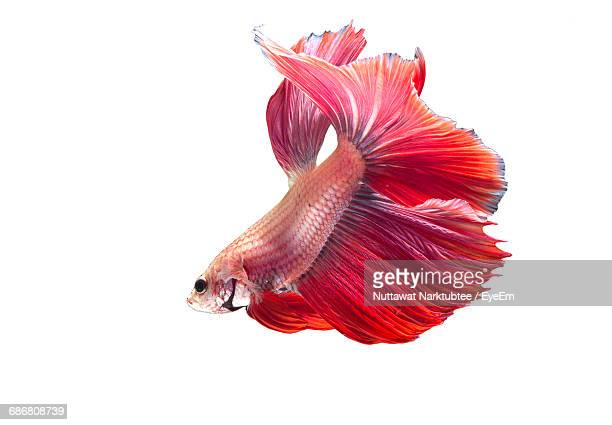 Side View Of Siamese Fighting Fish Against White Background