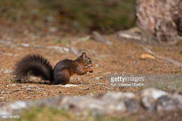side view of squirrel on field - アロサ ストックフォトと画像