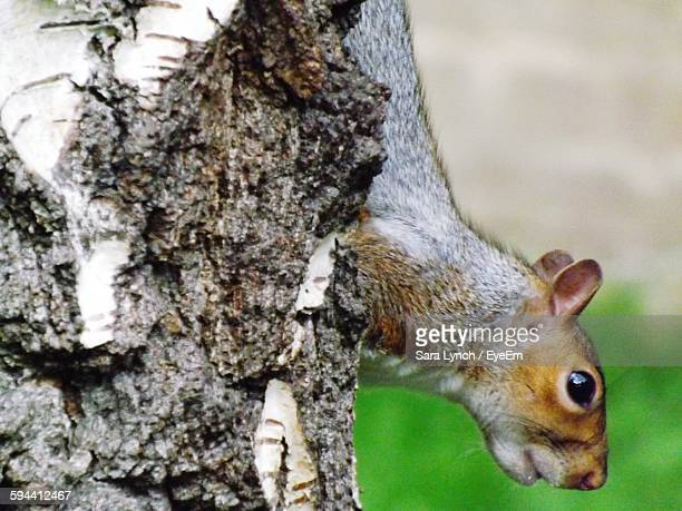 side view of squirrel on tree trunk - bethnal green stock pictures, royalty-free photos & images