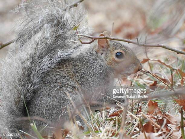 side view of squirrel - solomon turkel stock pictures, royalty-free photos & images