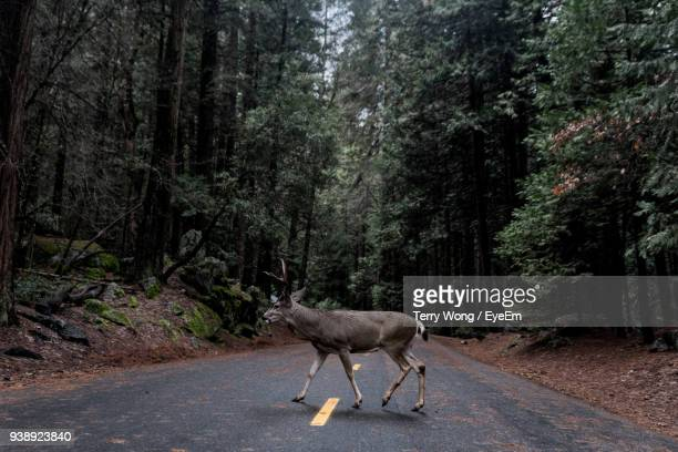 Side View Of Stag Crossing Road In Forest