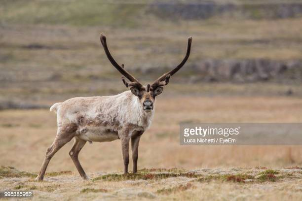 side view of stag standing on field - reindeer stock photos and pictures