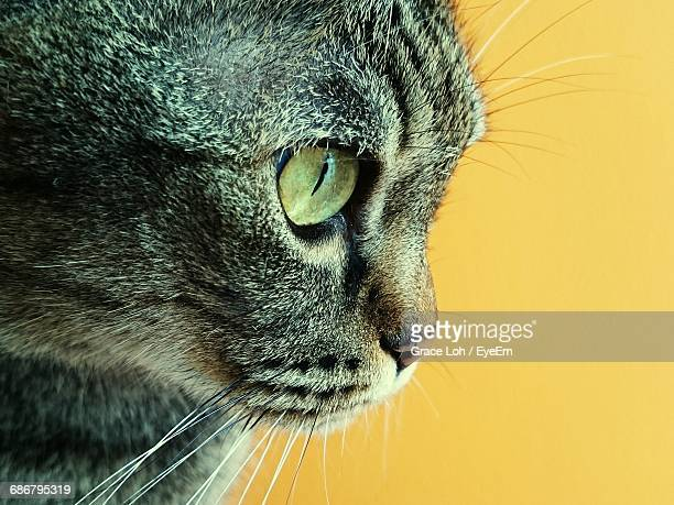 Side View Of Tabby Cat Against Yellow Background