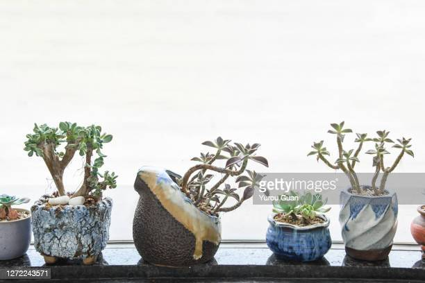 side view of the succulent plants. - ornamental plant stock pictures, royalty-free photos & images