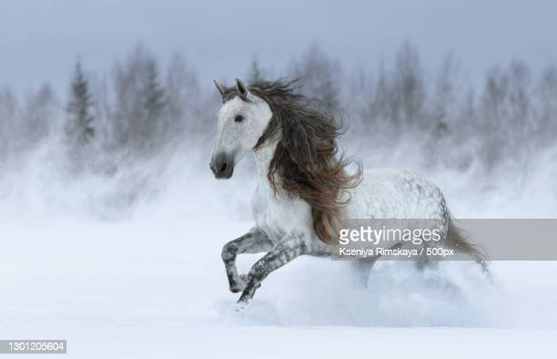 side view of thoroughbred horse running on snow covered field - pre season bildbanksfoton och bilder