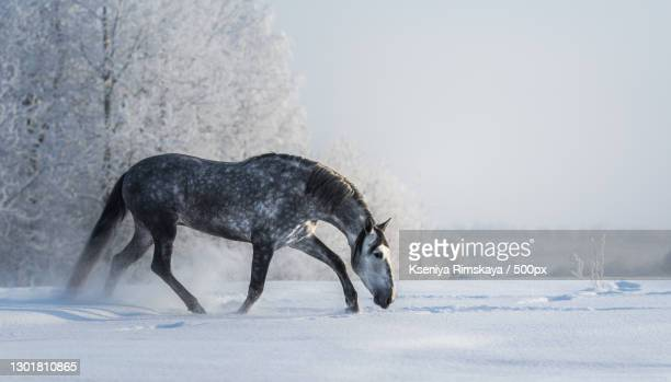 side view of thoroughbred horse standing on snow covered field - pre season bildbanksfoton och bilder