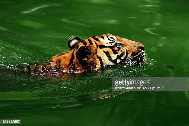 Side View Of Tiger In Green Water