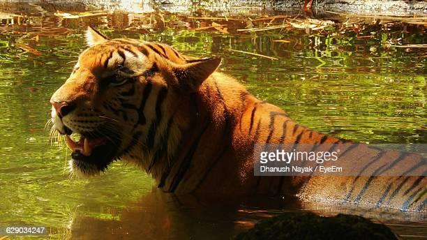 Side View Of Tiger In Zoo