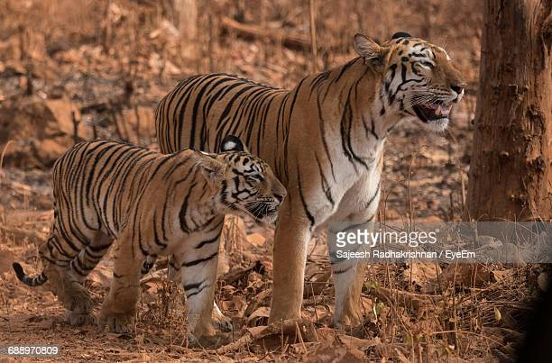 Side View Of Tigers Looking Away