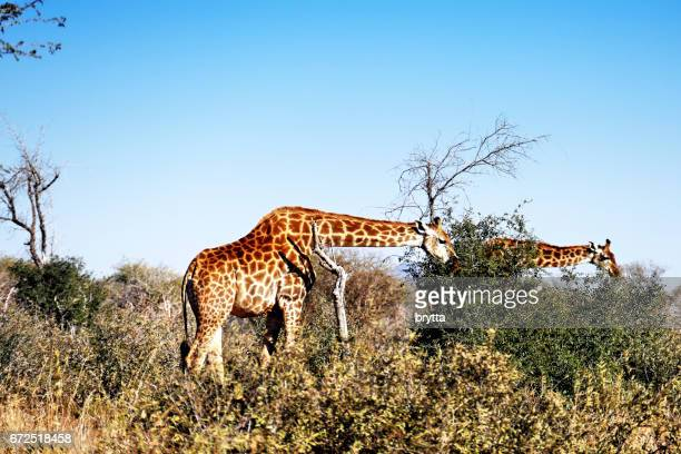 Side view of two giraffes eating acacia leaves in the Madikwe Game Reserve in South Africa
