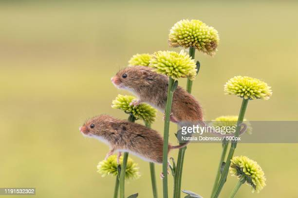 side view of two harvest mice perched on flowers, dorset, united kingdom - harvest mouse stock pictures, royalty-free photos & images