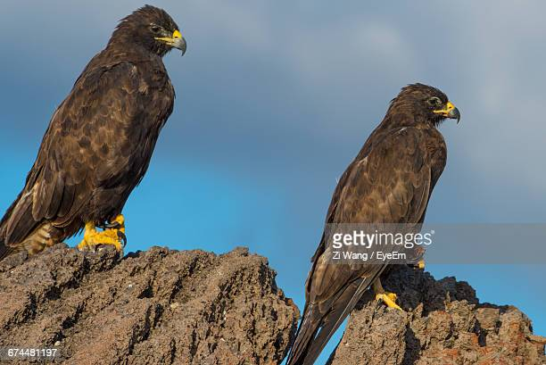 side view of two hawks perching on rocks - harris hawk stock photos and pictures