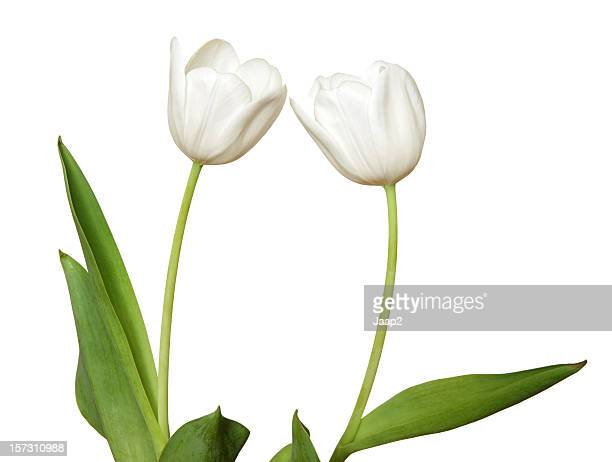 Side view of two white tulips, isolated