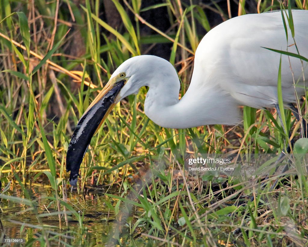 Side View Of White Great Egret With Fish In Beak Amidst Grass : Photo