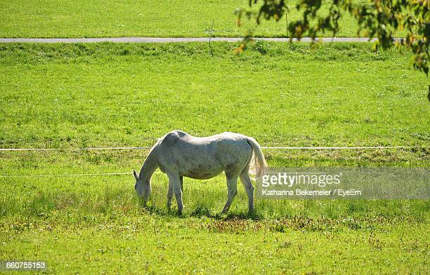 Side View Of White Horse Grazing On Field