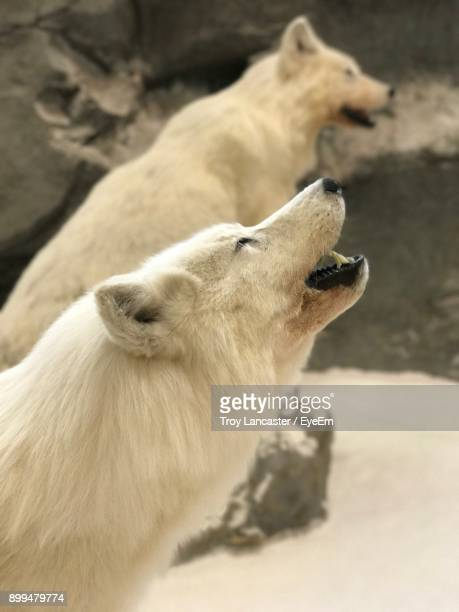 side view of wolf howling outdoors - loup blanc photos et images de collection