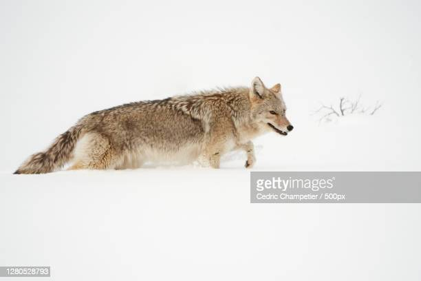 side view of wolf standing on snow covered field,parc national de yellowstone,united states,usa - parc national de yellowstone stock pictures, royalty-free photos & images