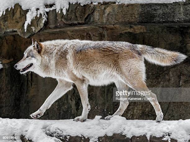 Side View Of Wolf Walking On Snow