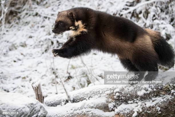 Side view of wolverine (Gulo gulo) jumping on snow, Haines, Alaska, USA