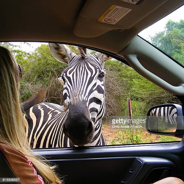 Side View Of Woman In Car Looking At Zebra Through Window