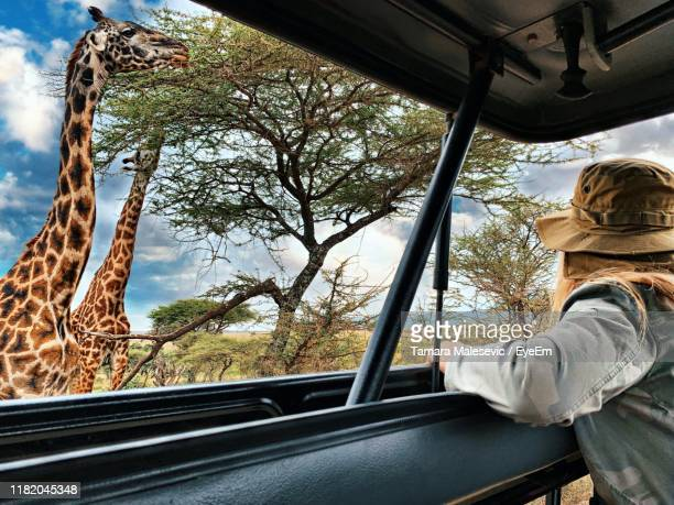 side view of woman peeking from car sunroof by trees and giraffes - safari stock pictures, royalty-free photos & images