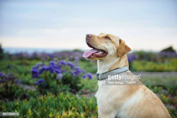 side view of yellow labrador retriever on field - labrador retriever stock pictures, royalty-free photos & images