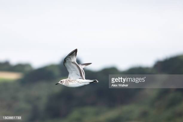 side view of young herring gull seagull flying - falmouth england stock pictures, royalty-free photos & images