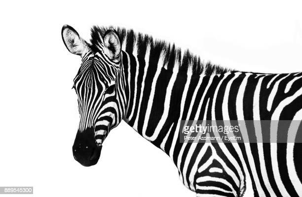 side view of zebra against white background - zebra stock pictures, royalty-free photos & images