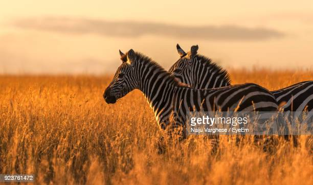 side view of zebras standing on grassy field during sunset - safari animals stock pictures, royalty-free photos & images