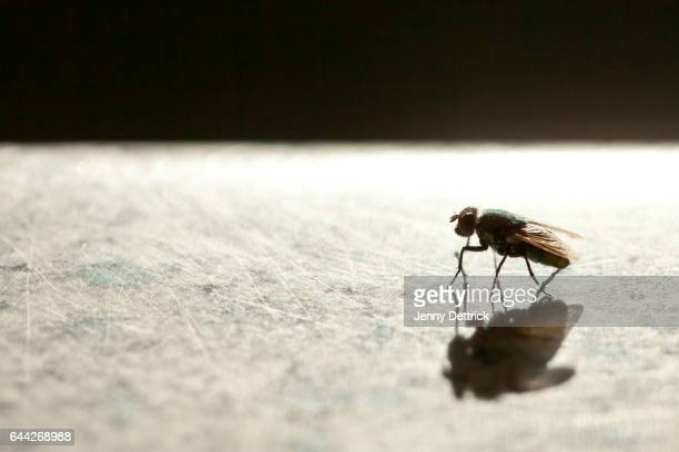 side-view of a housefly - insect stock pictures, royalty-free photos & images