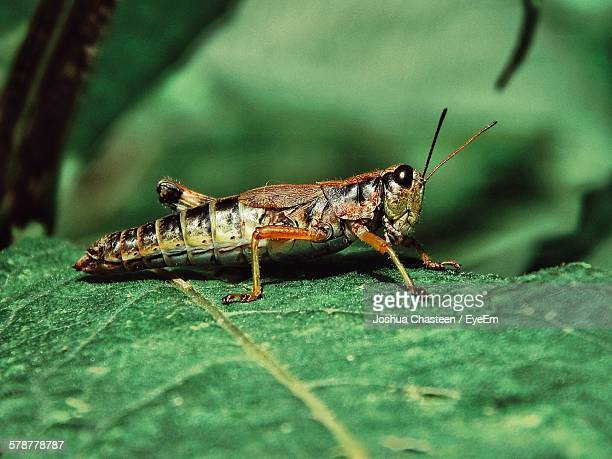 Side-View Of Locust