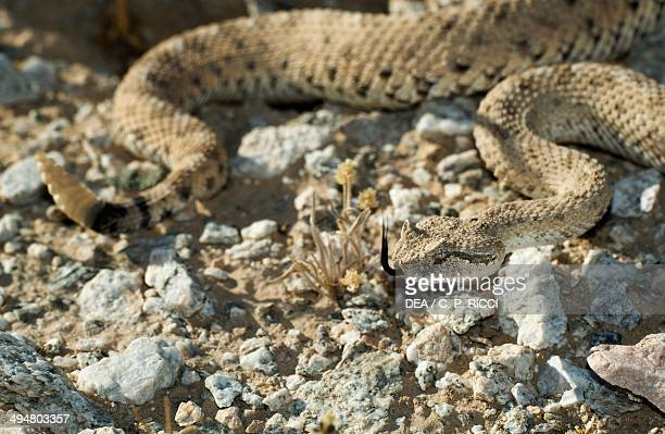 Sidewinder or Horned rattlesnake Viperidae flicking its tongue to pick up scents in the air