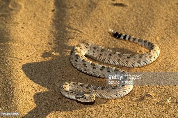 Sidewinder or Horned rattlesnake Viperidae