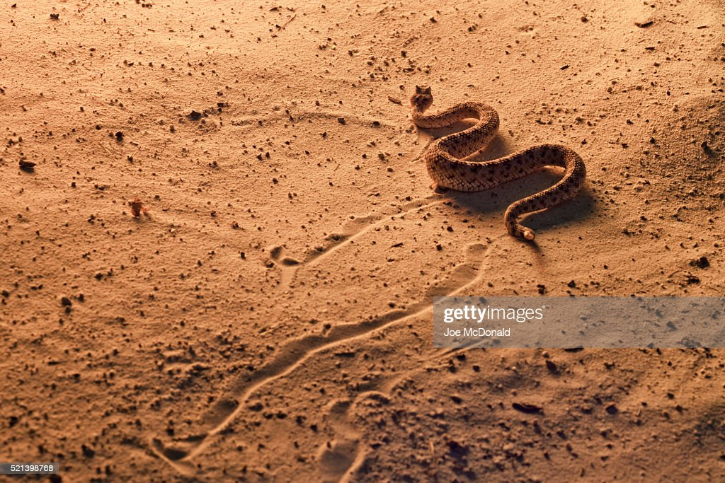 Sidewinder Rattlesnake, Crotalus cerastes, Southern Arizona. Side-winding locomotion across sand dunes at sunset. Controlled situation. : Stock Photo