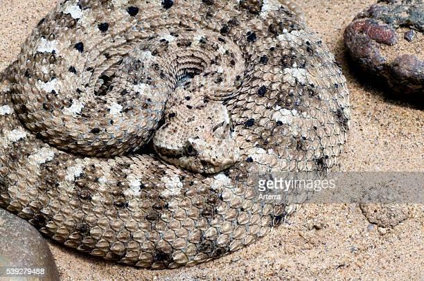 Sidewinder rattlesnake in the Sonoran desert Arizona US