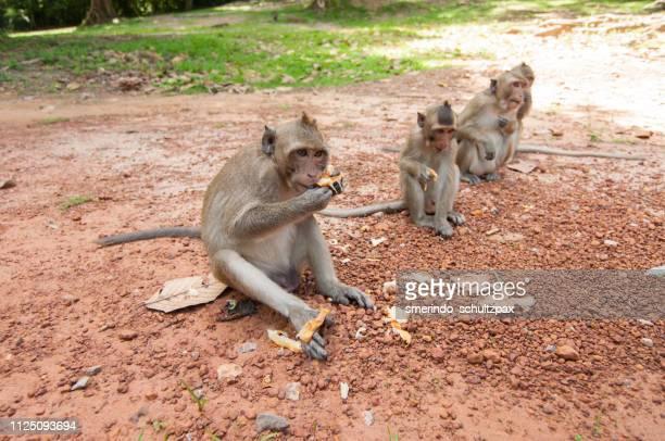 Siem Reap Monkeys