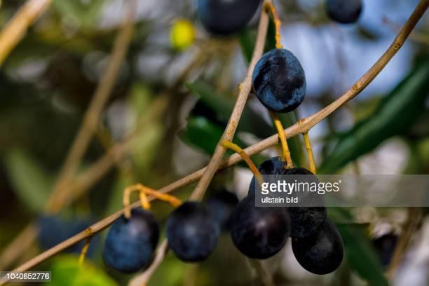 Siena Toskana Italien Oliven am Baum Herbst > english> Siena Tuscany Italy autumn November 01 2017