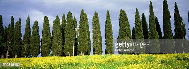 siena, tuscany, italy - italian cypress stock pictures, royalty-free photos & images