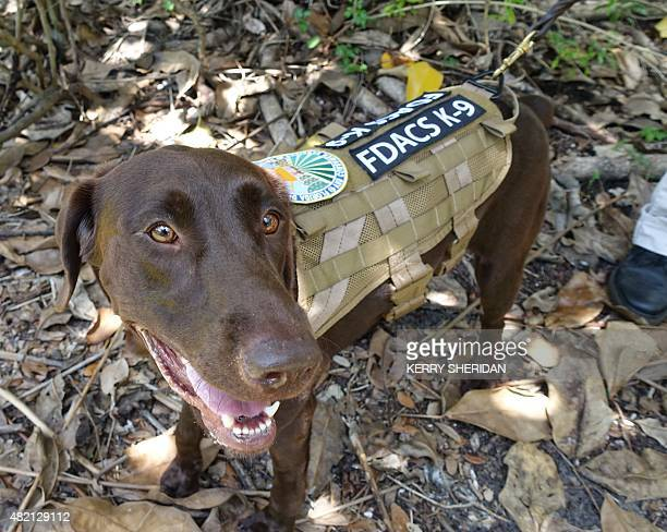 Sierra a chocolate lab is one of two specially trained dog detectives that help sniff out Giant African Snails on July 17 2015 in MiamiFlorida...