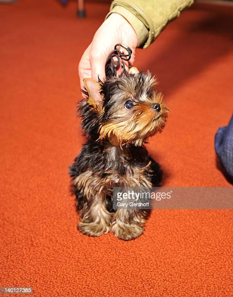 Sierra a Yorkshire Terrier puppy attends as American Kennel Club announces Most Popular Dogs in the US at American Kennel Club Offices on February 28...